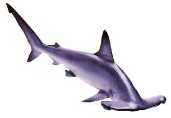 Hammerhead clipart shark head Shark  Reports