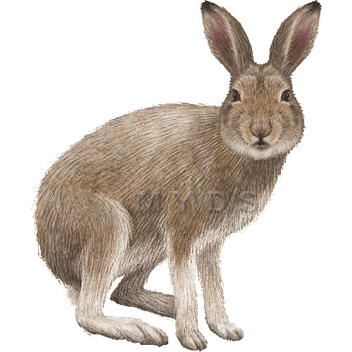 Hare clipart Clipart hare%20clipart%20 Panda Clipart Free
