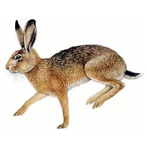 Hare clipart Brown Hare and and Hare