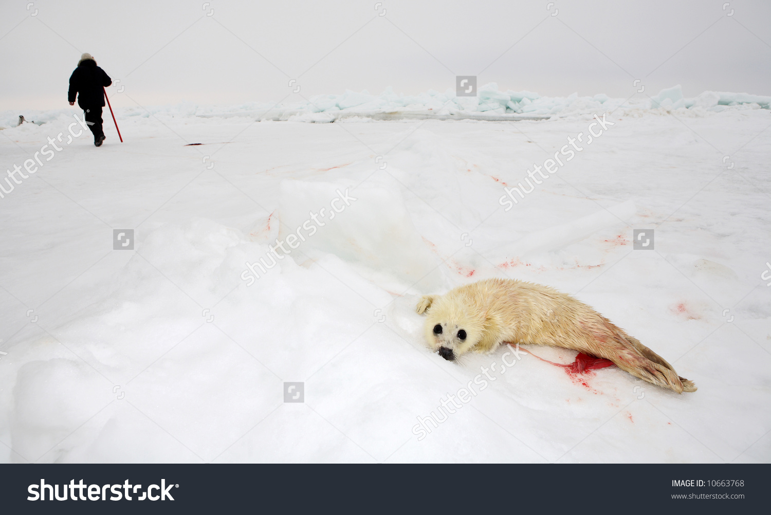 Harp Seal clipart Clipart Seal Download Download #1