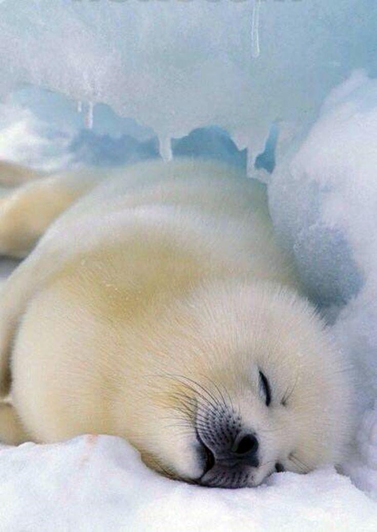 Sea Lion clipart arctic seal #15