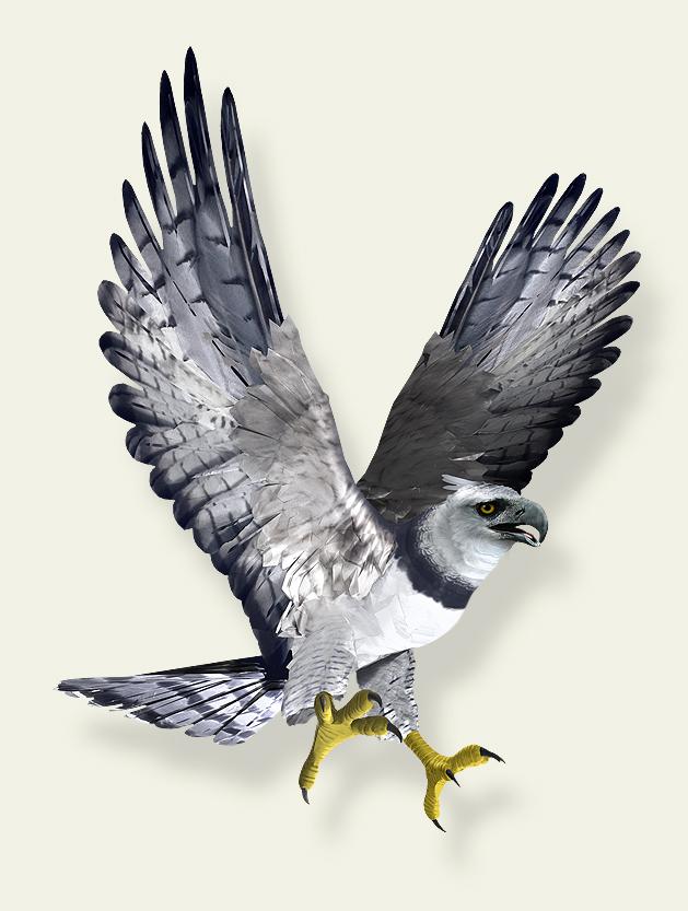 Harpy Eagle clipart Photo#1 Harpy eagle flying Eagle