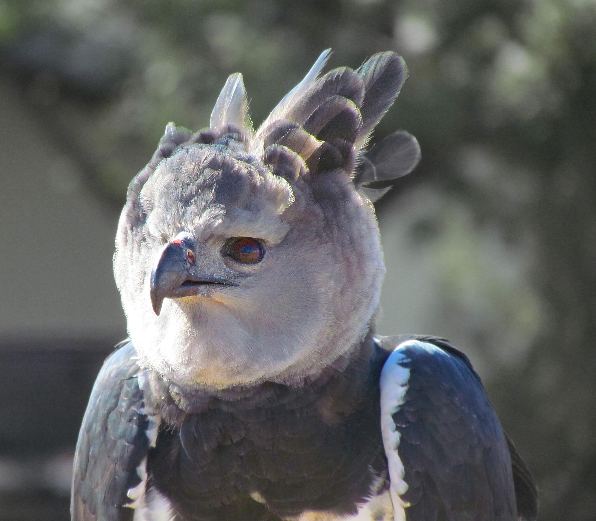 Harpy Eagle clipart Harpy Eagle eagle head Head