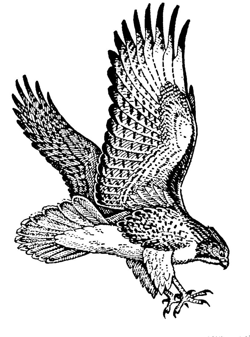 Harris Hawk clipart clipart black and white #8