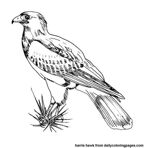 Harris Hawk clipart clipart black and white #6