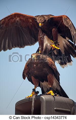 Harris Hawk clipart eagles Of top landing hawk top