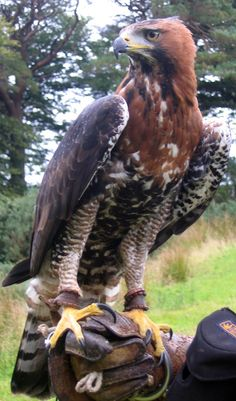 Harris Hawk clipart eagles Include Harris' tailed and Hawk