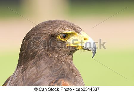 Harris Hawk clipart eagles Csp0344337 of of  Hawk