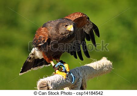 Harris Hawk clipart eagles Perch  Harris csp14184542 photographer