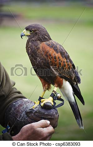 Harris Hawk clipart eagles Of prey bird csp6383093 prey