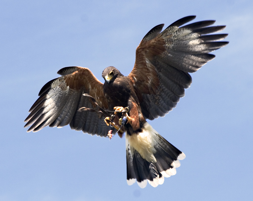 Harris Hawk clipart eagles Hawk photo#14 hawk Harris Harris