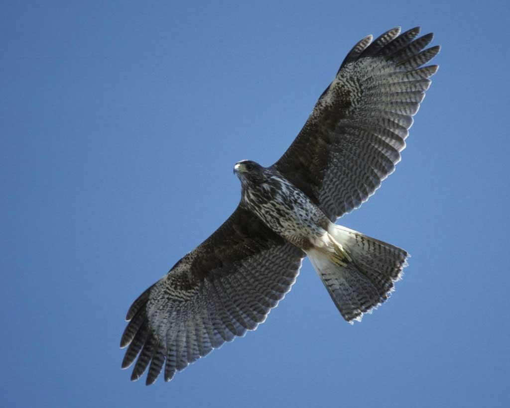 Harris Hawk clipart hawk flying Gallery Hawk Harris's Guide Photo