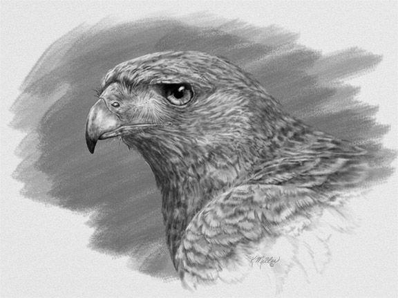 Harris Hawk clipart pencil drawing On Pinterest Hawk qatari Harris