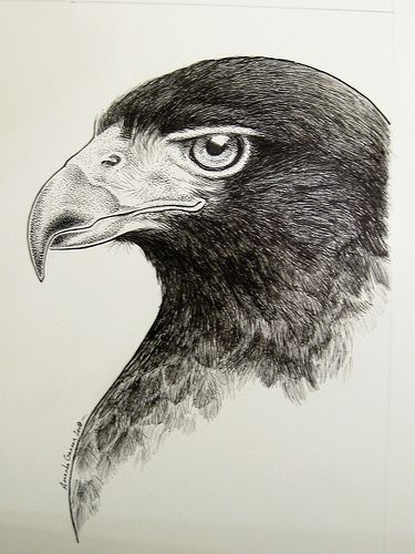 Harris Hawk clipart pencil drawing Drawings best Falcon #2: Pinterest