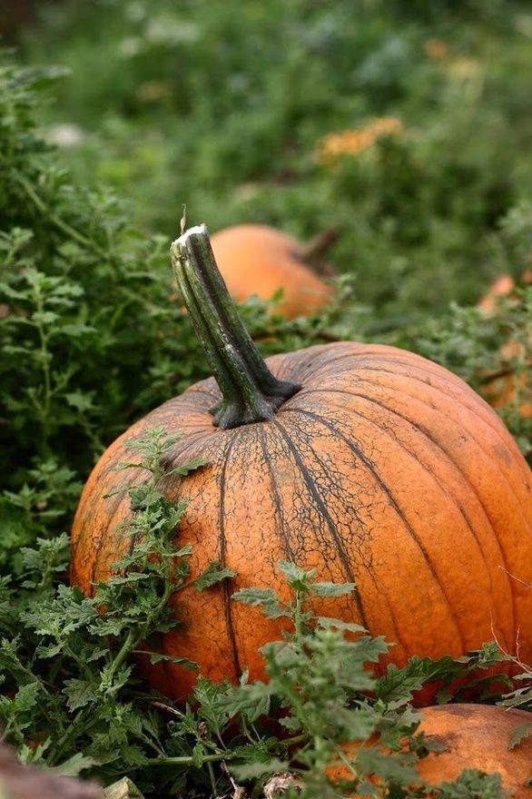 Harvest Moon clipart fall pumpkin Images Pin 307 Pumpkin about