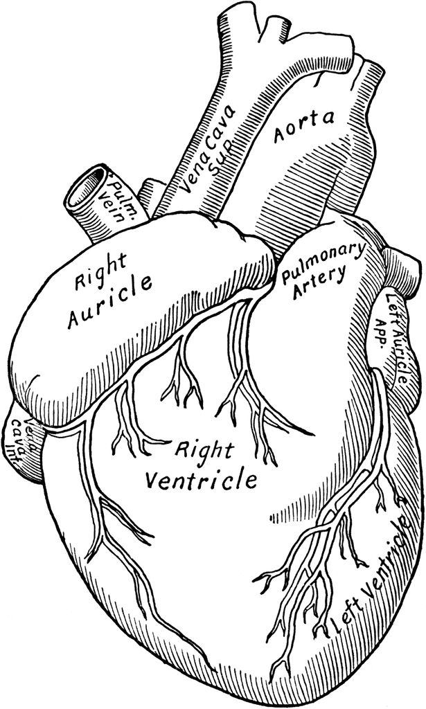 Anatomy clipart anatomical heart Heart anatomical clip Medical and