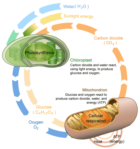 Heat clipart photosynthesis And ( opposite respiration