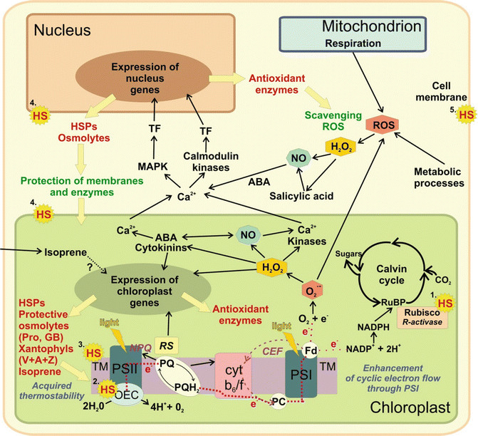 Heat clipart photosynthesis 2 stress  (PDF Responses