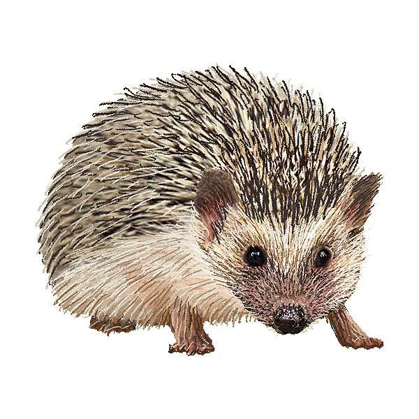 Hedgehog clipart Polyvore liked Hedgehog graphics graphics