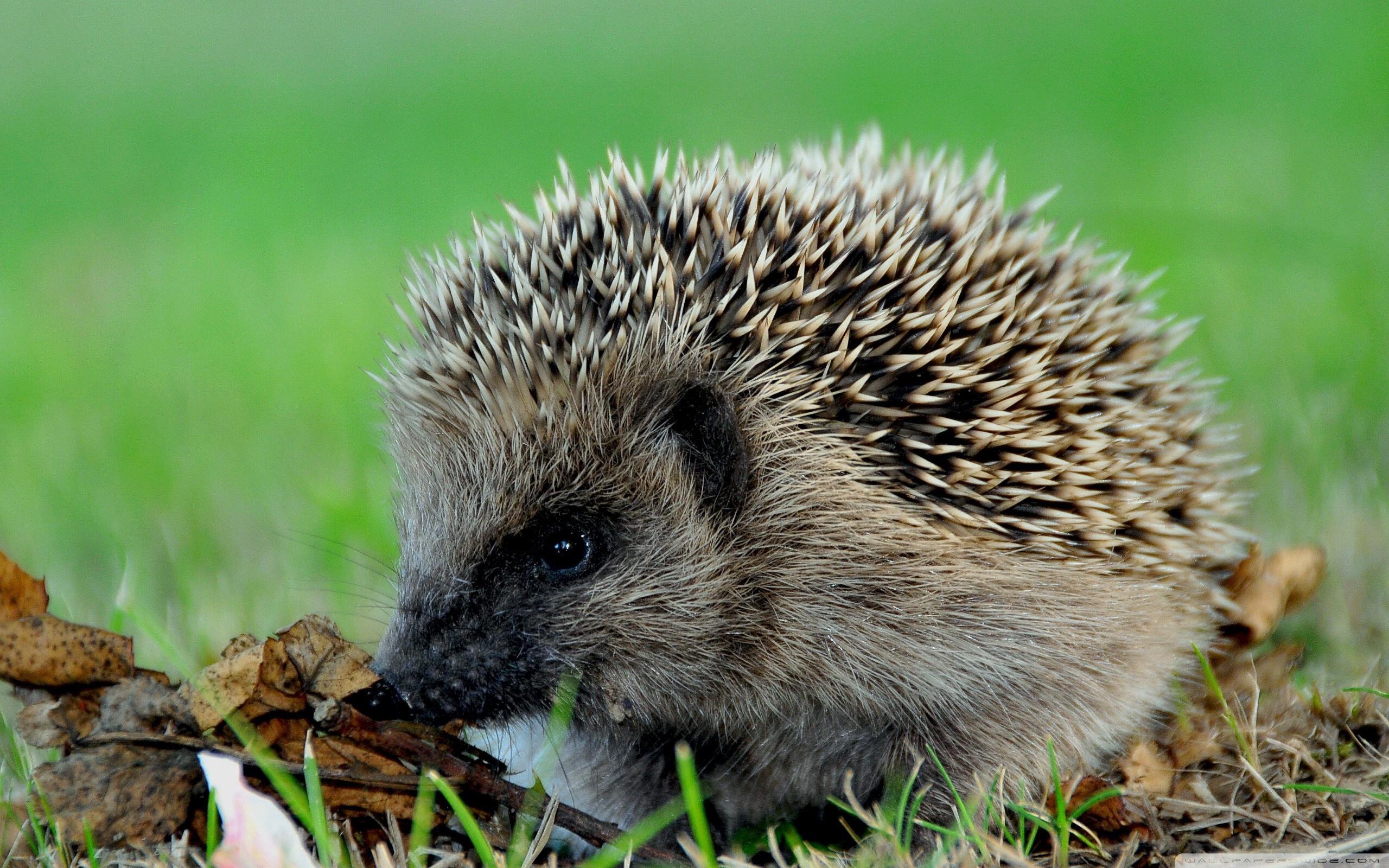 Hedgehog clipart hiran Hedgehog Hedgehog Wallpaper #11271 Adorable