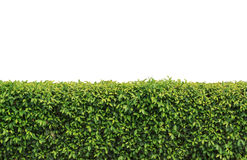 Hedges clipart shrubbery Stock Hedge Isolated clipart Hedge