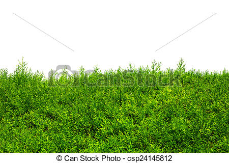 Hedges clipart shrub Of Hedge Trees (cypress hedge