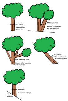Banyan Tree clipart hindi Wikipedia Tree Girth[edit] measurement