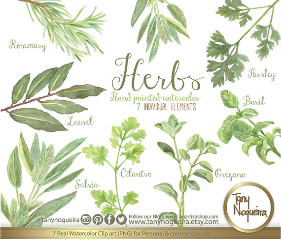 Basil clipart watercolor Art rosemary Oregano botanical parsley