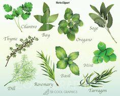 Herbs clipart Classroom illustration Digital : Dill