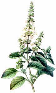 Herbs clipart basil Clipart Public Herb Free Clipart
