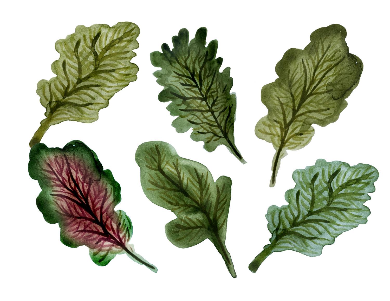 Kale clipart vegatable Kale This clipart botanical clipart