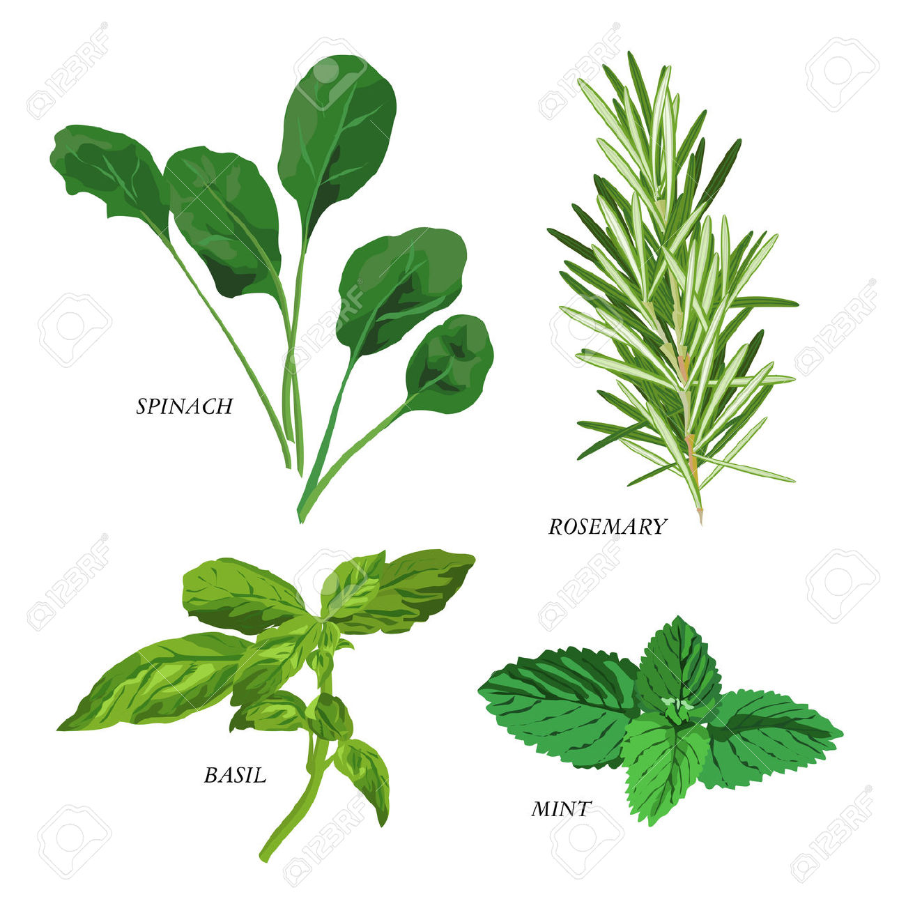 Mint clipart herb Art clipart collection Dill leaf