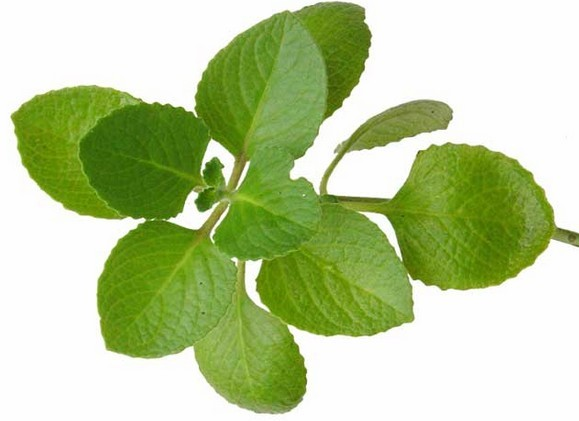 Herbs clipart oregano The Origanum oregano seed This