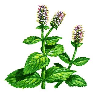 Mint clipart peppermint leaf Flowers on and a If