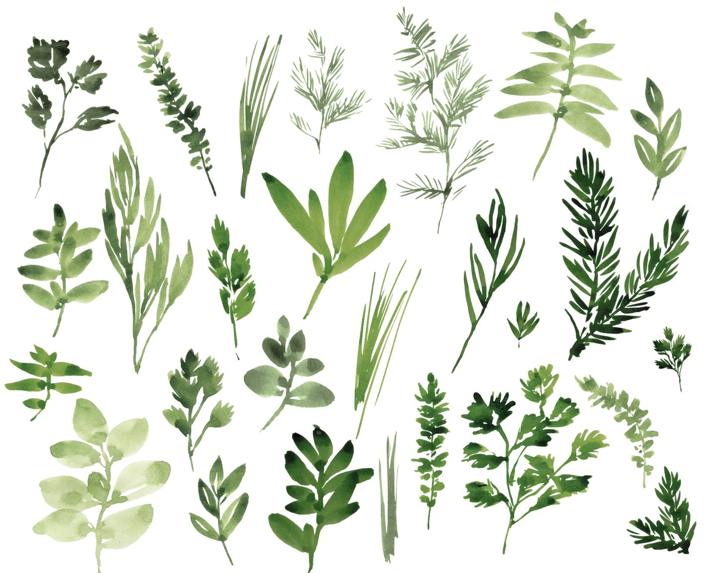 Basil clipart watercolor Sage Clipart Painted  Leaves