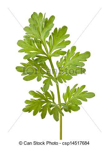 Herbs clipart sagebrush Sagebrush on sprig white Pictures