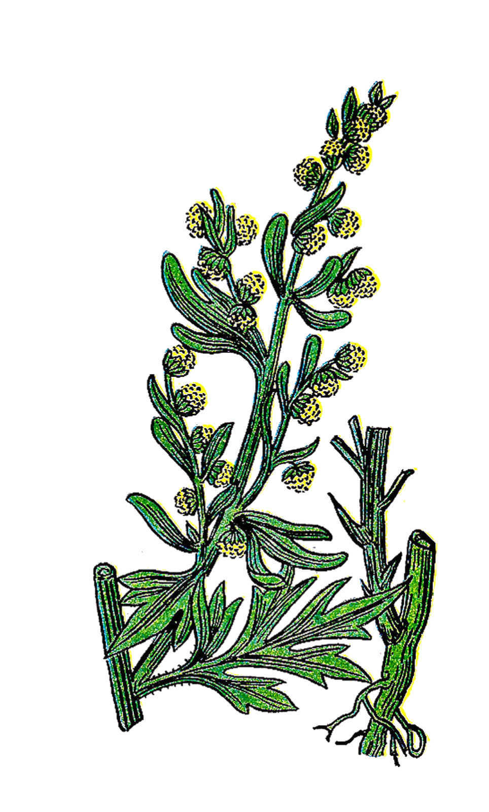 Free Clipart Herb Images Clipart