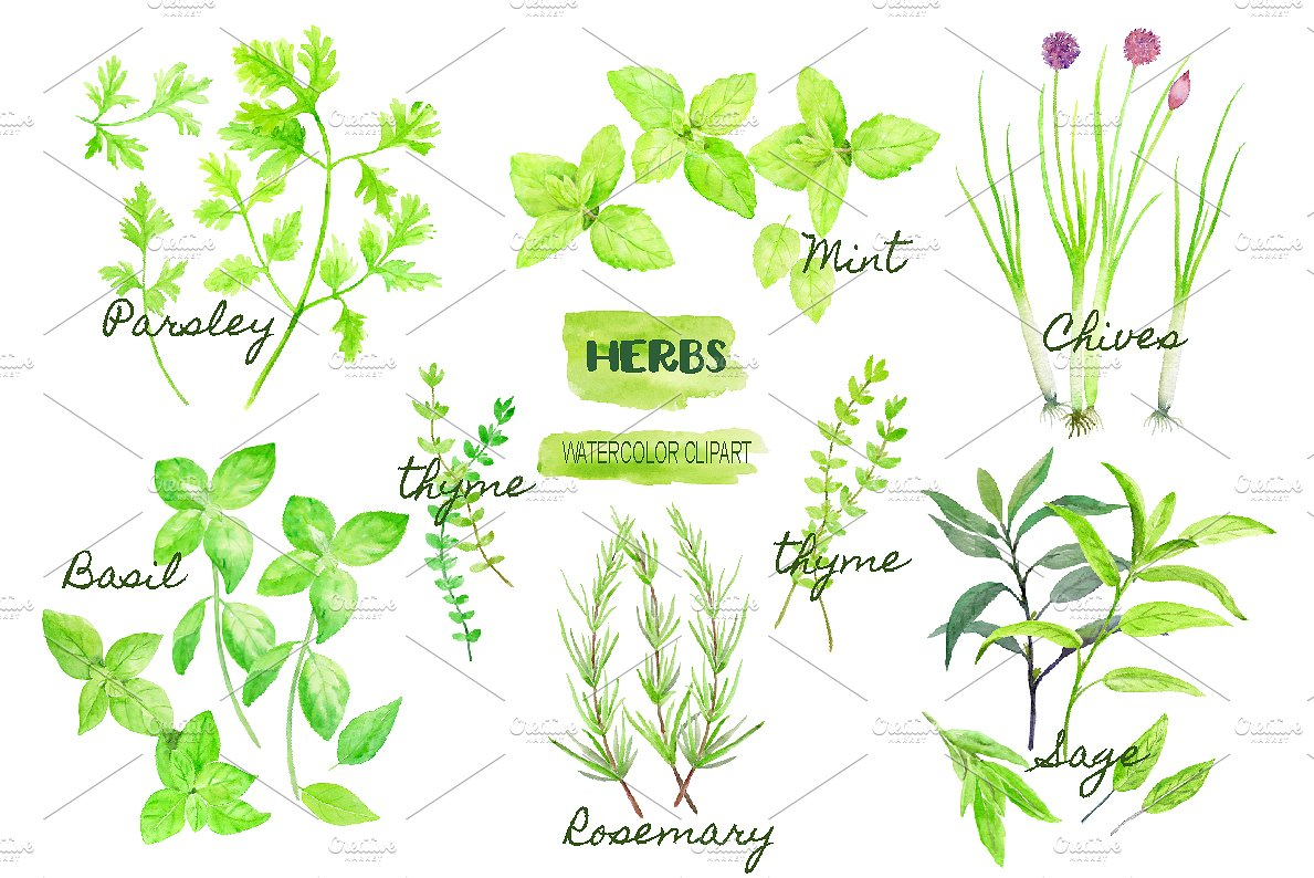 Mint clipart herb Clipart ~ Illustrations watercolor and