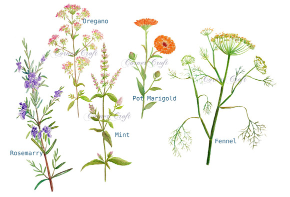 Herbs clipart watercolour Watercolor Herb Flowers Clipart