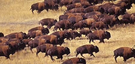 Herd clipart Buffalo Clipart Herd Herd Of