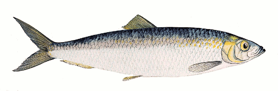 Herring clipart Images Clipart Free Clipart Clipart