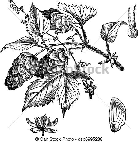 Hop clipart drawing Engraving hop Common vintage vintage