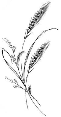 Drawn grain wheat crop 25+ ideas drawing Pinterest Best