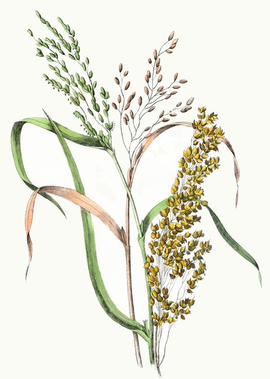 Hop clipart rice stalk ReusableArt Public Millet Rice