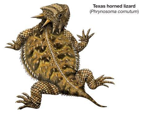 Horned Lizard clipart Lizard Toads Horn lizard Toads