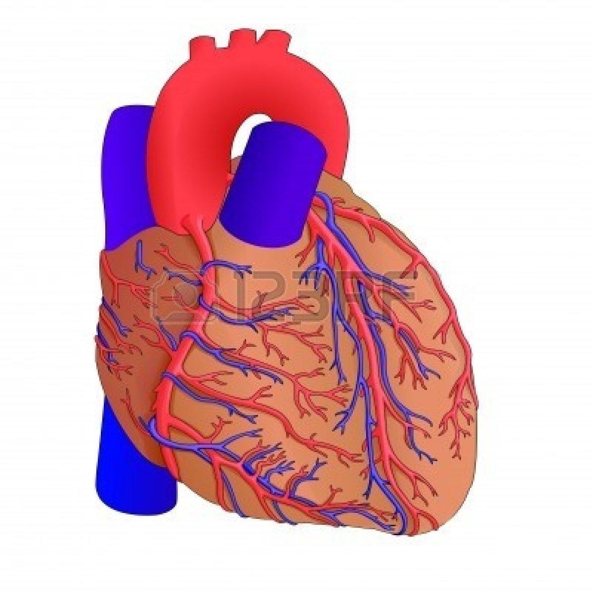 Anatomy clipart anatomical heart  Clipart Anatomy Human Animated