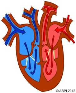 Images 69 System/Cardiovascular Circulatory System