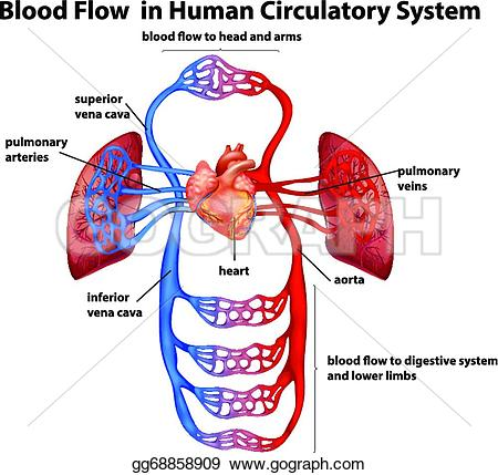 Human clipart cardiovascular system Background system  system Stock