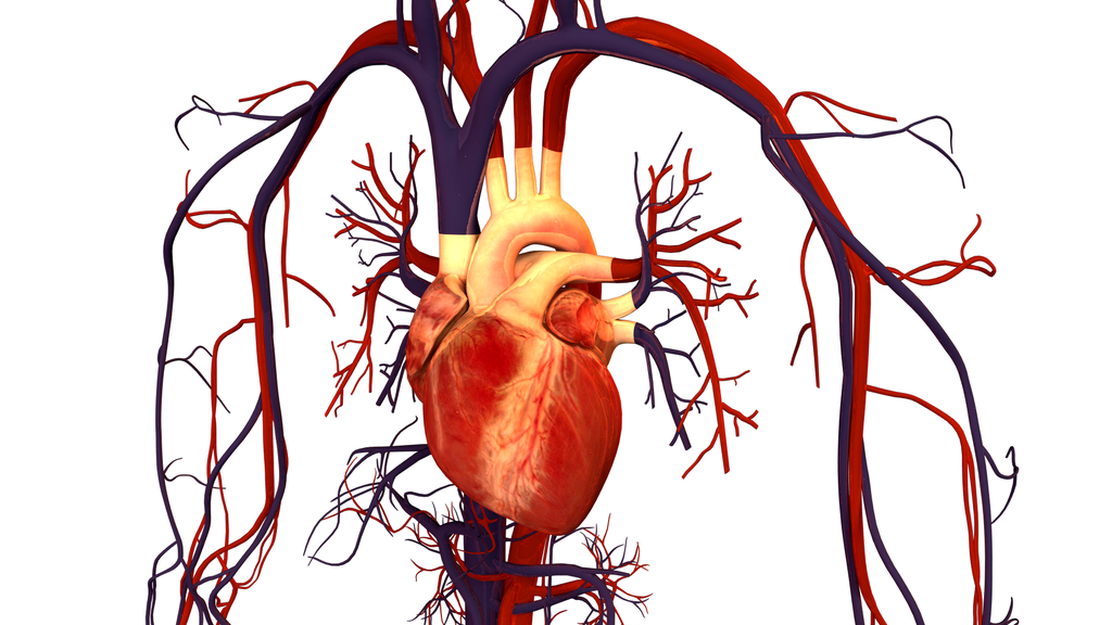 Human clipart cardiovascular system Library Pictures Art Circulatory Clip
