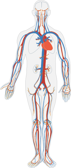 Human clipart cardiovascular system Clip at vector as: com